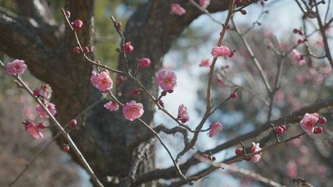 Japanease Red Plum,in Showa Memorial Park,Tokyo,Japan,Filmed in 4K Footage