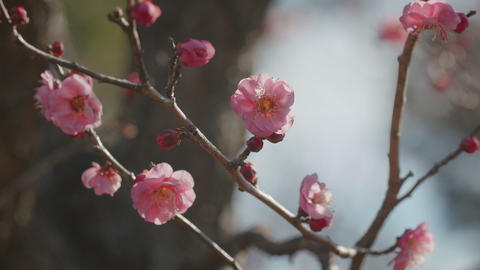 Japanease Red Plum,in Showa Memorial Park,Tokyo,Japan,Filmed in 4K Footage