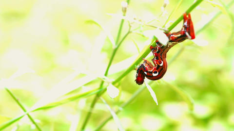 A Red Caterpillar Climbing on Twig ビデオ