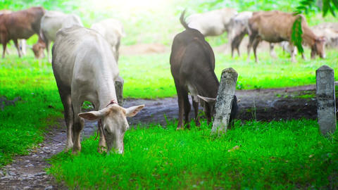 Cows Grazing on Green Meadow Footage