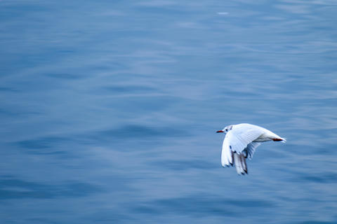Black-headed gull (seagull) flying over water フォト
