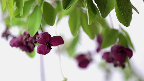 Japanese wild flower Akebia quinata, white background Footage