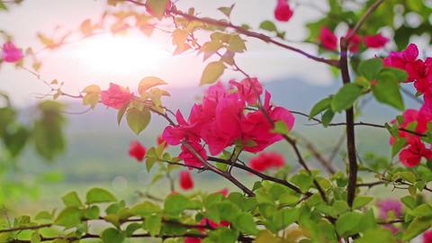 Purple Bougainvillea Flower Shaking by Wind in the Sunset Footage