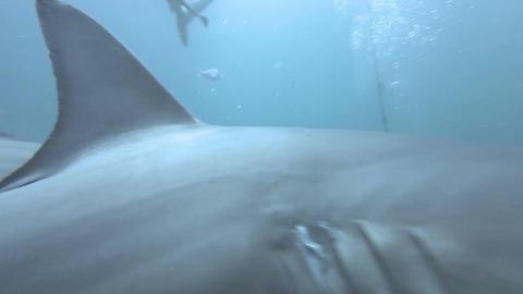Black tip Sharks swimming around bait Footage