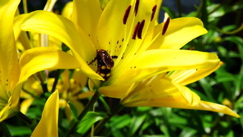 large hornet is sitting on a yellow lily Footage