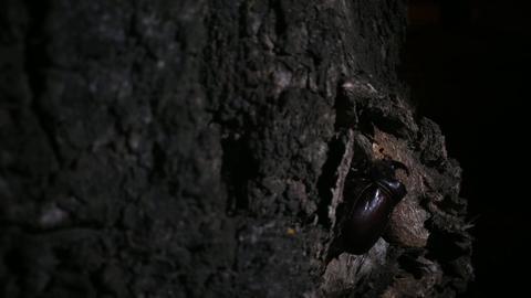 Rhinoceros beetle crawling close up v2 Footage