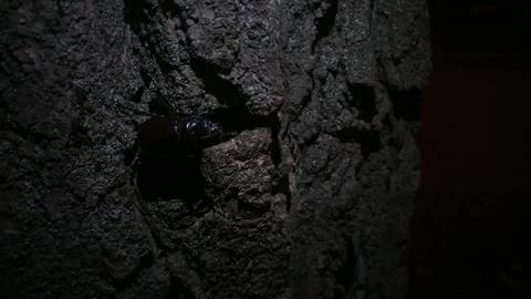 Rhinoceros beetle crawling close up v3 Image