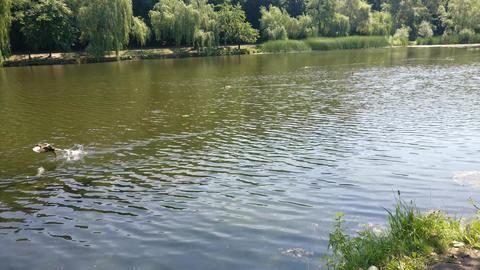 Ducks flying over the pond Filmmaterial