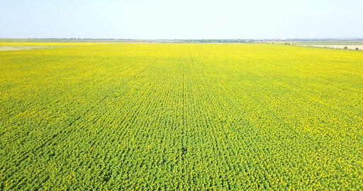 Aerial Drone View Of Sunflower Plantation In Summer Image