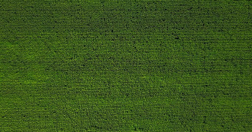 Aerial Drone View Of Green Corn Plantation Ready For Harvest Footage