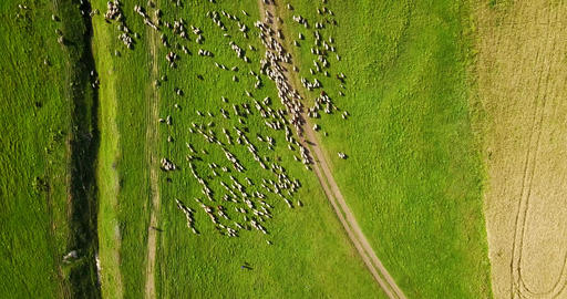 Aerial Drone View Of Sheep Herd Feeding On Grass 画像