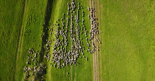 Aerial Drone View Of Sheep Herd Feeding On Grass Footage