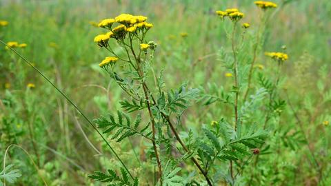Ants on a yellow flower Acción en vivo