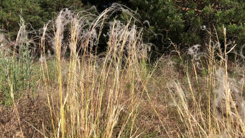 Steppe feather grass near the forest Footage
