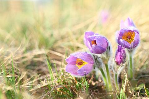 Early spring flower Greater pasqueflower, Pulsatilla grandis Fotografía