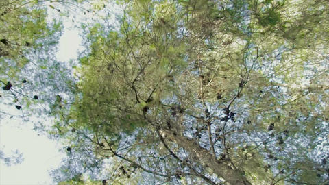 Low angle tracking shot of a pine tree forest Footage