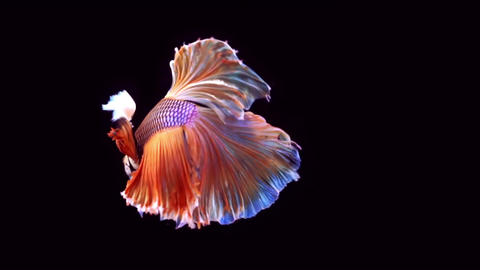 Siamese Fighting Fish Betta Splendens 画像