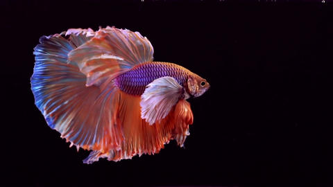 Siamese Fighting Fish Betta Splendens Image