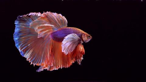 Siamese Fighting Fish Betta Splendens 画像