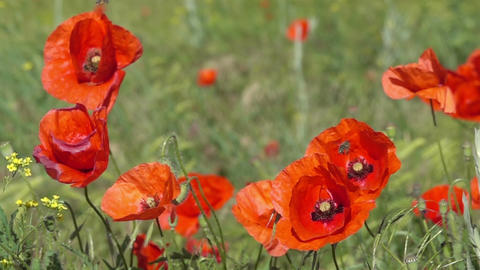 Bee Flying and Pollinating Poppy Flower Footage