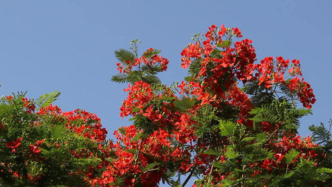 Flame tree branch with many bright flowers, sway on breeze against blue sky Footage