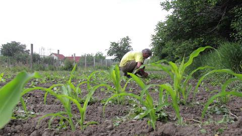 Gardener pulling weeds grown in carrots, planted in spring in his garden behind  Footage