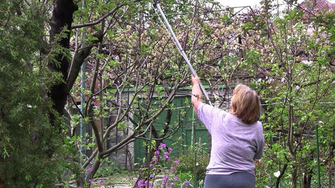 Gardeners cut the branches of a fruit tree with scissors. Felling trees is recom Footage