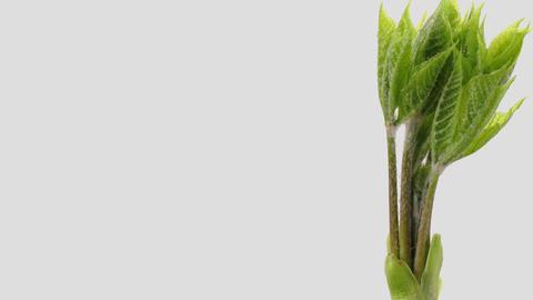 Japanese edible wild plant Eleutherococcus sciadophylloides, white background Footage