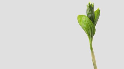 Japanese edible wild plant Maianthemum japonicum, white background Footage