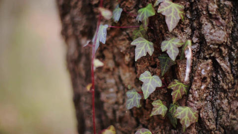 Bark and vine in early spring, Japan Footage