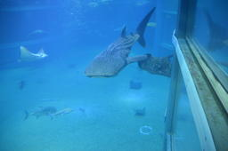 Whale Shark At The Osaka Aquarium Japan フォト