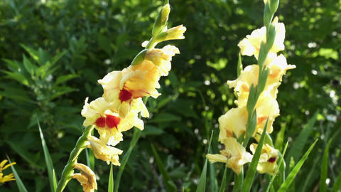 Gladiolus Flower in a Garden Tight Pan Shot Footage