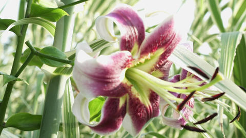 Sliding Tight Rack Focus Shot of a Lilly Flower Footage