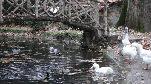 Geese behavior. (sound) Footage
