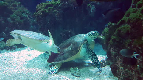 Giant Turtles Swimming Together Footage