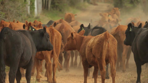 Cattle on the dirt street Footage