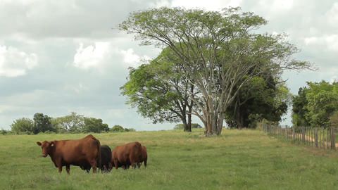 Field And Cattle 3 1