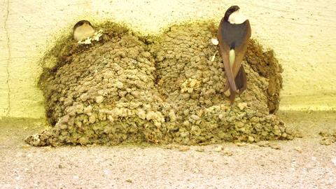 Swallow bird is feeding baby birds in their nest built in corner of house 画像
