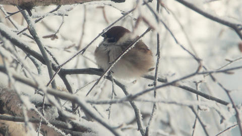 Sparrow sits on a snow-covered branch Footage