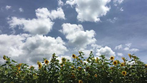 Sunflower-20170804-0003 ビデオ