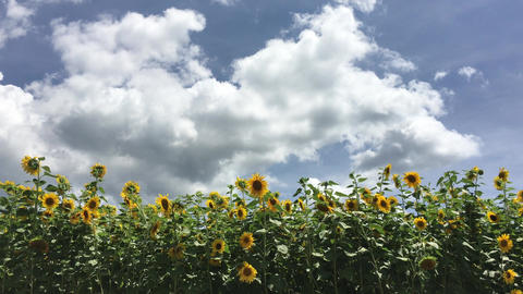 Sunflower-20170804-0006 ビデオ