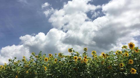 Sunflower-20170804-0007 ビデオ