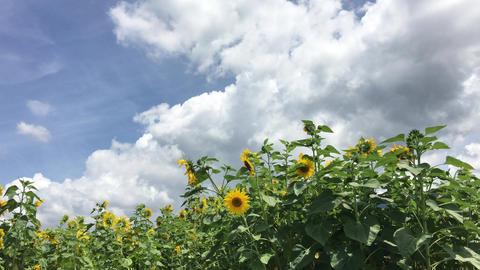 Sunflower-20170804-0008 動画素材, ムービー映像素材