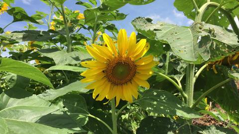 Sunflower-20170804-0011 動画素材, ムービー映像素材