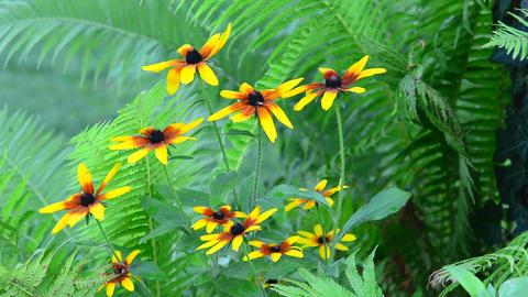 Rudbeckias with Ferns in Garden Footage