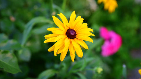 Flowering bud Rudbeckia Footage