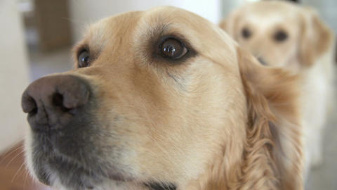 Close Up Of Two Golden Retriever Dogs Looking At Camera Live Action
