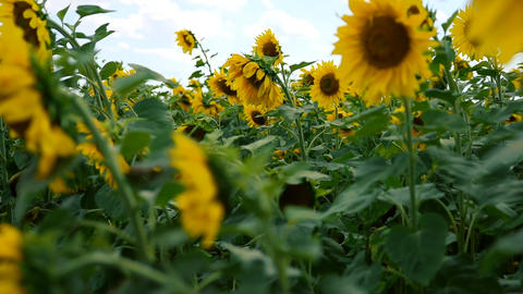 Blooming yellow sunflowers on a summer day Footage