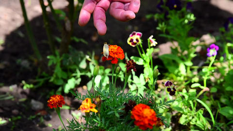 A human hand touches a butterfly on a flower ライブ動画