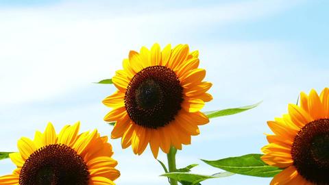 ひまわり sunflower ライブ動画